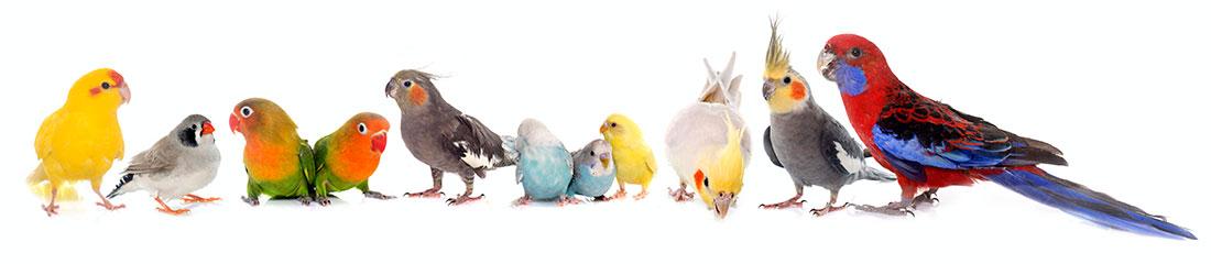 Gruppe von Vögeln - Finken, Wellensittiche, Kakadus und Papageien