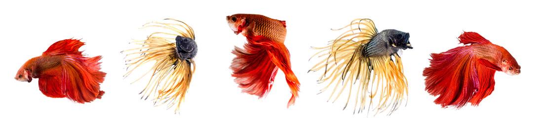 Gruppe von Fischen - rote und gelb-schwarze Kampffische