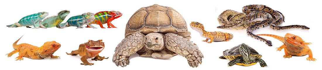 Gruppe von Reptilien - Chamäleons, Echsen, Schildkröten und Schlangen